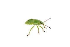 Green shield bug on a white background Royalty Free Stock Image