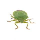 Green shield bug on a white background Royalty Free Stock Photos