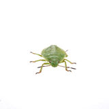 Green shield bug on a white background Stock Image
