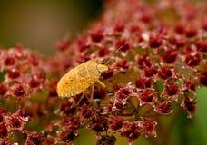 Green Shield Bug yellow morph Stock Photo