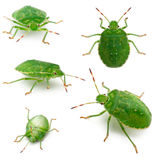 Green shield bugs, Palomena prasina, in front of Royalty Free Stock Photos