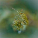 Green Shieldbug Royalty Free Stock Images