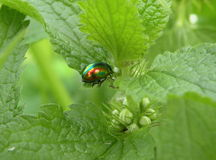 Green shining bug Royalty Free Stock Photos