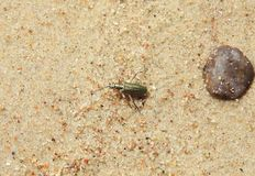Green shining bug on sand, Lithuania Stock Photos