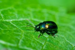 Green shiny beetle. Very detailed macro of a green beetle  walking on a leaf Stock Photo