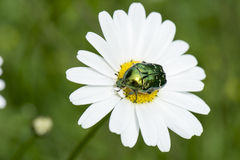 Green Beetle on Daisy Royalty Free Stock Image