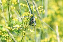 Green shiny beetle sits on a blade of grass in a field Royalty Free Stock Image