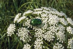 Beetle on white flower. A green, shiny beetle sits on a white flower of an umbellate plant Stock Photography