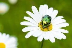 Free Green Shiny Chafer Beetle On Daisy, Cetonia Aurata Royalty Free Stock Image - 40888716