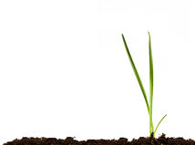Green Shoots. Coming through a soil backdrop with lots of copyspace Stock Photo