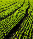 Green Shoots. Rows of green shoots in an English field Stock Images