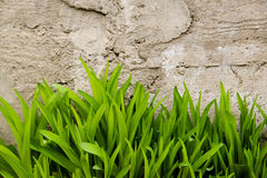 Green shoots on a background of a concrete wall. The fight against urban nature Royalty Free Stock Photos
