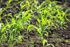 Green shoots of corn growing on an agricultural field Royalty Free Stock Photo