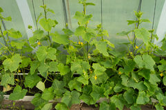 Green shoots of cucumbers, the flowers and young cucumbers, growing cucumbers in the greenhouse.  Stock Photography
