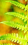 Green shoots of fern Stock Photo