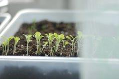 The green shoots. Green shoots grow at home garden. dark soil Stock Images