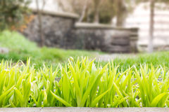 Green shoots infront of old steps. Green shoots of flowers infront of a background of old steps Royalty Free Stock Images