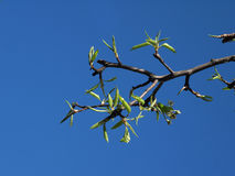 Green shoots of pear on background of sky Royalty Free Stock Photo