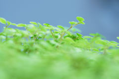 Green shoots of the plant. Close-up Royalty Free Stock Photo
