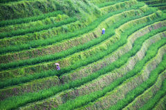 Green shoots of rice on mountain fields Stock Photography