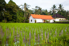 The green shoots of the rice plantations on the background of white house farm, palm trees and jungle. The young shoots of rice on the plantation in the focus on Royalty Free Stock Image