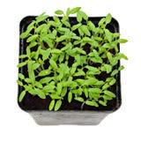 Green shoots of seedlings Stock Photo