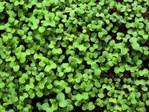 Green shoots of Sinapis arvensis top view. stock photos