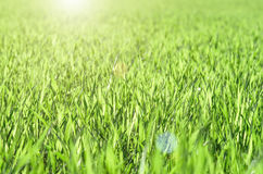 Green shoots of wheat on farmer field in spring stock photos
