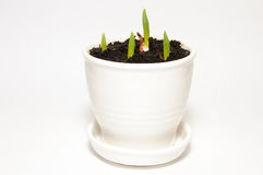 Green shoots in a white ceramic pot. Four green shoots in a white ceramic pot Stock Image
