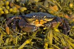 Green Shore Crab Carcinus maenas royalty free stock photos