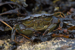 Green Shore Crab (Carcinus Maenus) Stock Photography