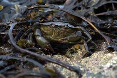 Green Shore Crab (Carcinus Maenus) Stock Image
