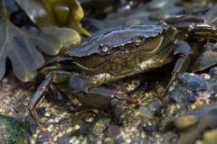 Green Shore Crab (Carcinus Maenus) Stock Images