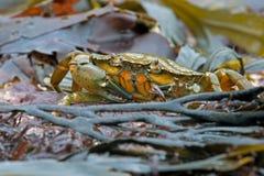 Green Shore Crab (Carcinus Maenus) Royalty Free Stock Image