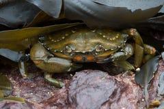 Green Shore Crab (Carcinus Maenus) Royalty Free Stock Photo