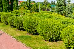 Green shorn plants for the decoration of flower beds and lawns. In the landscape of the city Royalty Free Stock Photo