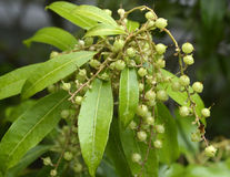 Green shrub with berries in garden Royalty Free Stock Photo