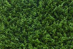Green shrub close up Stock Image