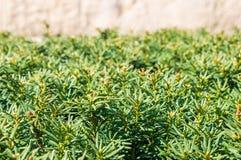 Green shrub Royalty Free Stock Photo