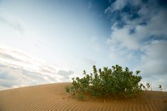 Green shrub in the desert. With white-blue sky Royalty Free Stock Photo