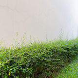 Green shrub fence in garden Royalty Free Stock Photography