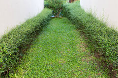 Green shrub fence in garden with cement crack wall Royalty Free Stock Image