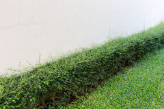 Green shrub fence in garden with cement crack wall Royalty Free Stock Photography