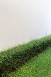 Green shrub fence in garden with cement crack wall Stock Image