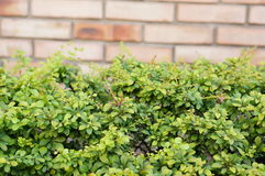 Green shrub Stock Images