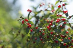 Green shrub of honeysuckle with red ripe berries. Green shrub of honeysuckle with bright red ripe berries on background of blue sky royalty free stock image
