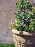 Green Shrub in Large Pot Stock Photo