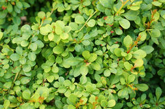 Green shrub Royalty Free Stock Photos