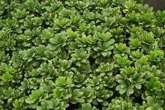 Green Shrub Pittosporum tobira Royalty Free Stock Photo