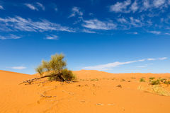 Green shrub in the Sahara. On the background of blue sky green shrub in the Sahara desert Royalty Free Stock Image